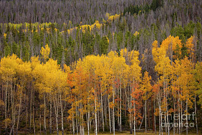 Photograph - Aspen Grove by Timothy Johnson