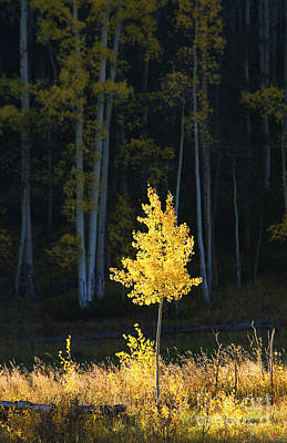 Aspen Impressions 2 Art Print by Ron Dahlquist - Printscapes