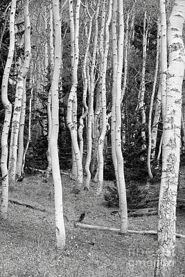 Photograph - Aspen In  Black by Douglas Miller