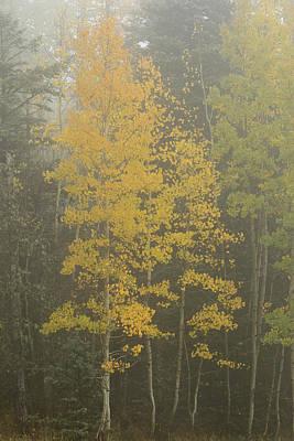 Aspen In The Fog Art Print