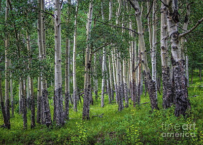 Photograph - Aspen by Jon Burch Photography