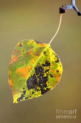 Photograph - Aspen Leaf by Frank Townsley