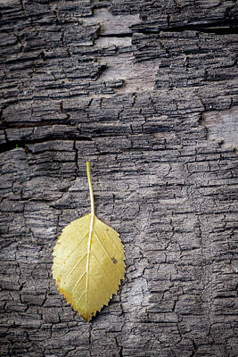 Photograph - Aspen Leaf On Bark by Mary Lee Dereske