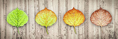 Photograph - Aspen Leaf Progression - Forest Bachground by Aaron Spong
