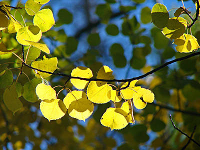 Photograph - Aspen Leaves 1 by Diana Douglass