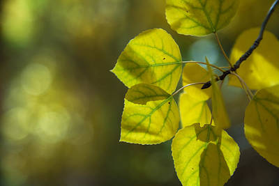 Photograph - Aspen Leaves 2 by Jonathan Nguyen