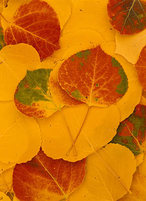 Coconino National Forest Photograph - Aspen Leaves, Fall Color, Kachina Peaks by Ralph Lee Hopkins