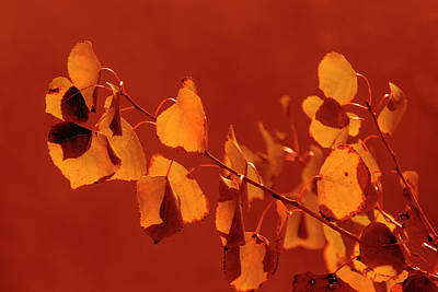 Photograph - Aspen Leaves In Autumn by Frank Wilson