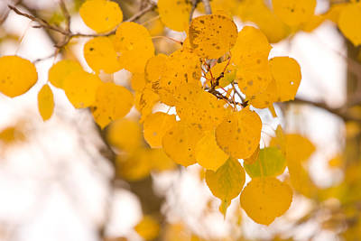 Striking-.com Photograph - Aspen Leaves by James BO  Insogna