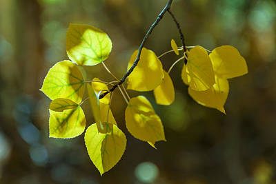 Photograph - Aspen Leaves by Jonathan Nguyen