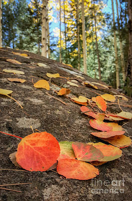 Photograph - Aspen Leaves On Lichen by Marianne Jensen