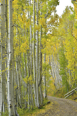 Photograph - Aspen Lined Road Off Last Dollar Road by Ray Mathis
