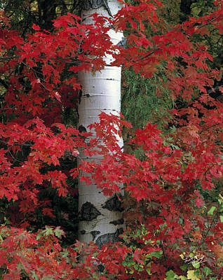 Photograph - Aspen Maples by Leland D Howard
