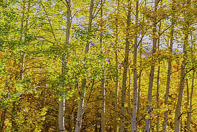 Photograph - Aspen Mix by Nancy Marie Ricketts