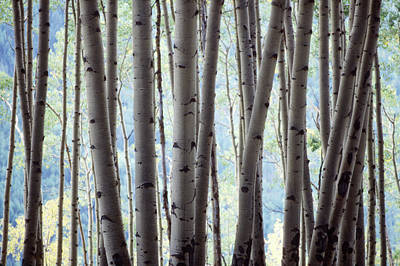Aspen On The Edge Of Bear Creek Art Print