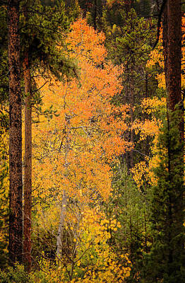 Photograph - Aspen by Ray Kent