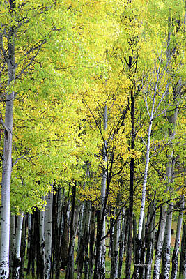 Photograph - Aspen Splendor by Matalyn Gardner