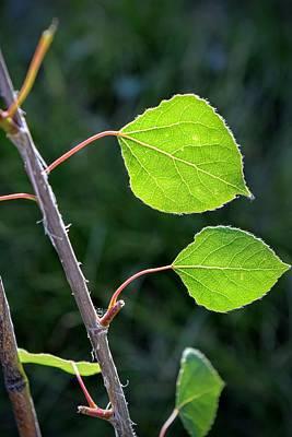 Popular Rustic Neutral Tones - Aspen Spring Greens by Michael Brungardt