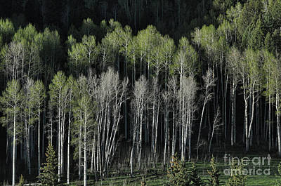 Photograph - Aspen Spring by Randy Rogers