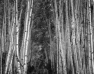 Photograph - Aspen Stalwarts by Scott Cordell