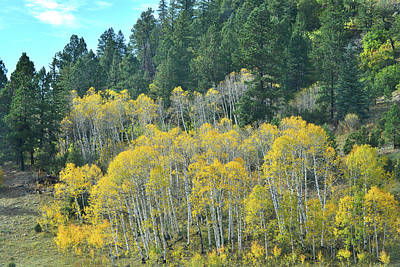 Photograph - Aspen Stand Along Highway 62 by Ray Mathis