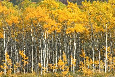 Photograph - Aspen Stand by Frank Townsley