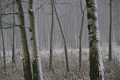 Natural Forces Photograph - Aspen Stand In A Snowstorm by Raymond Gehman