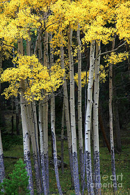 Aspen Stand Art Print by Timothy Johnson