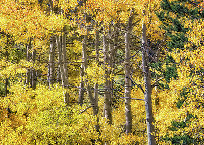 Photograph - Aspen Sunlight by Anthony Bonafede