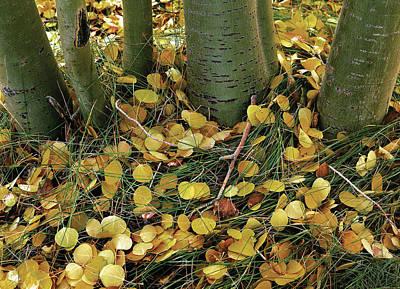 Photograph - Aspen Tree Boles In Leaves by Paul Breitkreuz