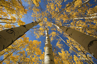 Aspen Tree Canopy 1 Art Print by Ron Dahlquist - Printscapes