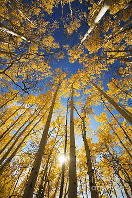 Aspen Tree Canopy 3 Art Print by Ron Dahlquist - Printscapes