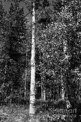 Photograph - Aspen Tree by David Bearden