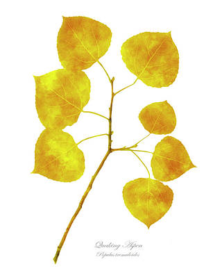 Photograph - Aspen Tree Leaf Art by Christina Rollo