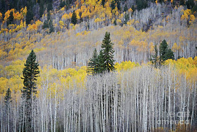 Photograph - Aspen Tree Pine Forest Landscape by Andrea Hazel Ihlefeld