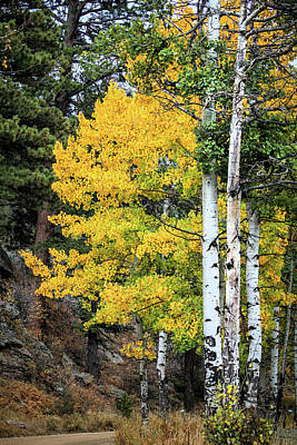 Photograph - Aspen Tree Trunks by Juli Ellen