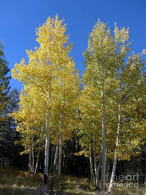 Photograph - Aspen Tree Twins by Marlene Rose Besso