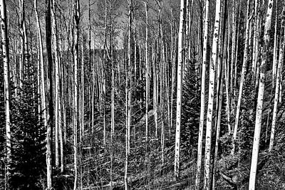 Photograph - Aspen Trees #2 by Stuart Litoff