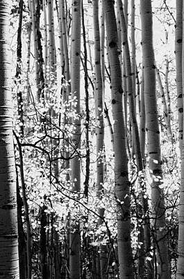 Aspen Trees Black And White Art Print