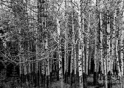 Photograph - Aspen Trees Canadian Rockies Black And White by Blake Webster