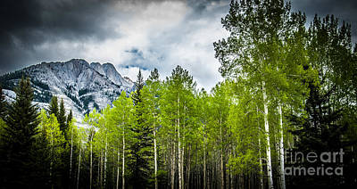Photograph - Aspen Trees Canadian Rockies by Blake Webster