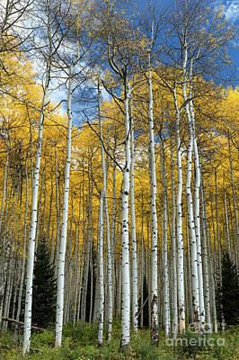 Photograph - Aspen Trees, Colorado by Tibor Vari