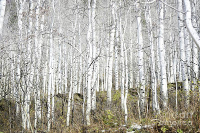 Photograph - Aspen Trees Dreamy Woodland by Andrea Hazel Ihlefeld