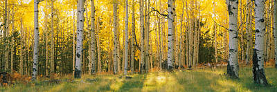 Autumn Scene Photograph - Aspen Trees In A Forest, Coconino by Panoramic Images