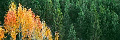 Aspen Trees In A Forest, Taggart Lake Art Print by Panoramic Images