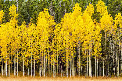 Photograph - Aspen Trees In Fall Color by Teri Virbickis
