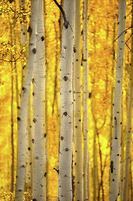 Moody Trees - Aspen Trees in fall by Jonathan Ross