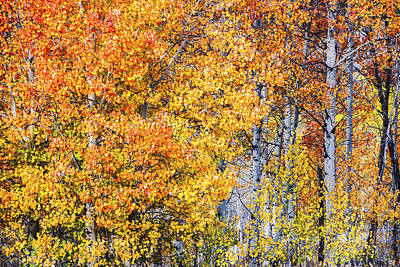 Photograph - Aspen Trees In Full Autumn Glory by Vishwanath Bhat