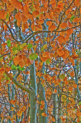 Photograph - Aspen Trees by Mae Wertz