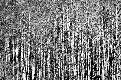 Photograph - Aspen Trees - New Mexico by Stuart Litoff